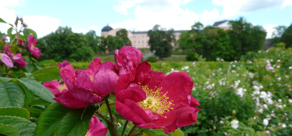 Roses in the rose quarter of the Baroque Garden, with Uppsala Castle in the background.