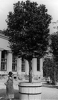 One of Linnaeus's laurel trees in 1903, when it was already 150 years old!