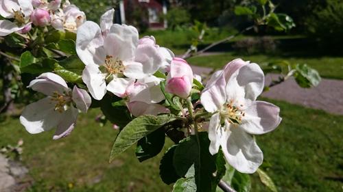 'Linnés äpple' är en sort som bevaras i klonarkivet på Linnés Hammarby. Foto på en kvist med blommor, taget av Jesper Kårehed, Uppsala universitet.