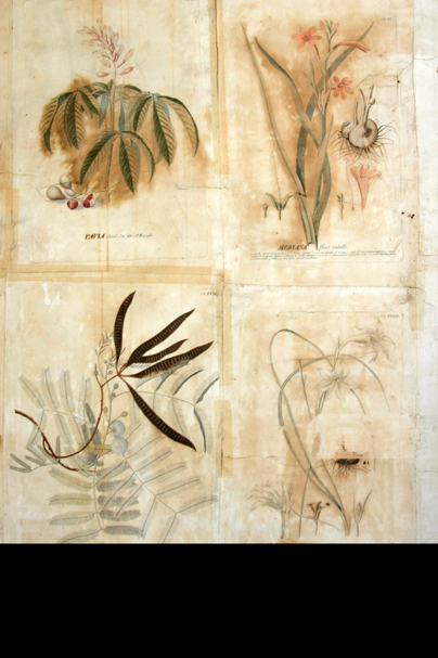 Four hand coloured botanical prints that have stayed on the walls of Linnaeus' study at Hammarby since the 18'th century.