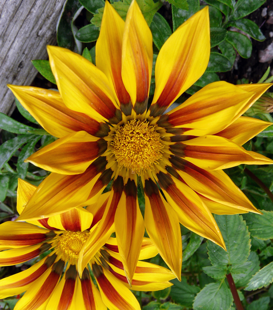 Yellow and red flower on Gazania