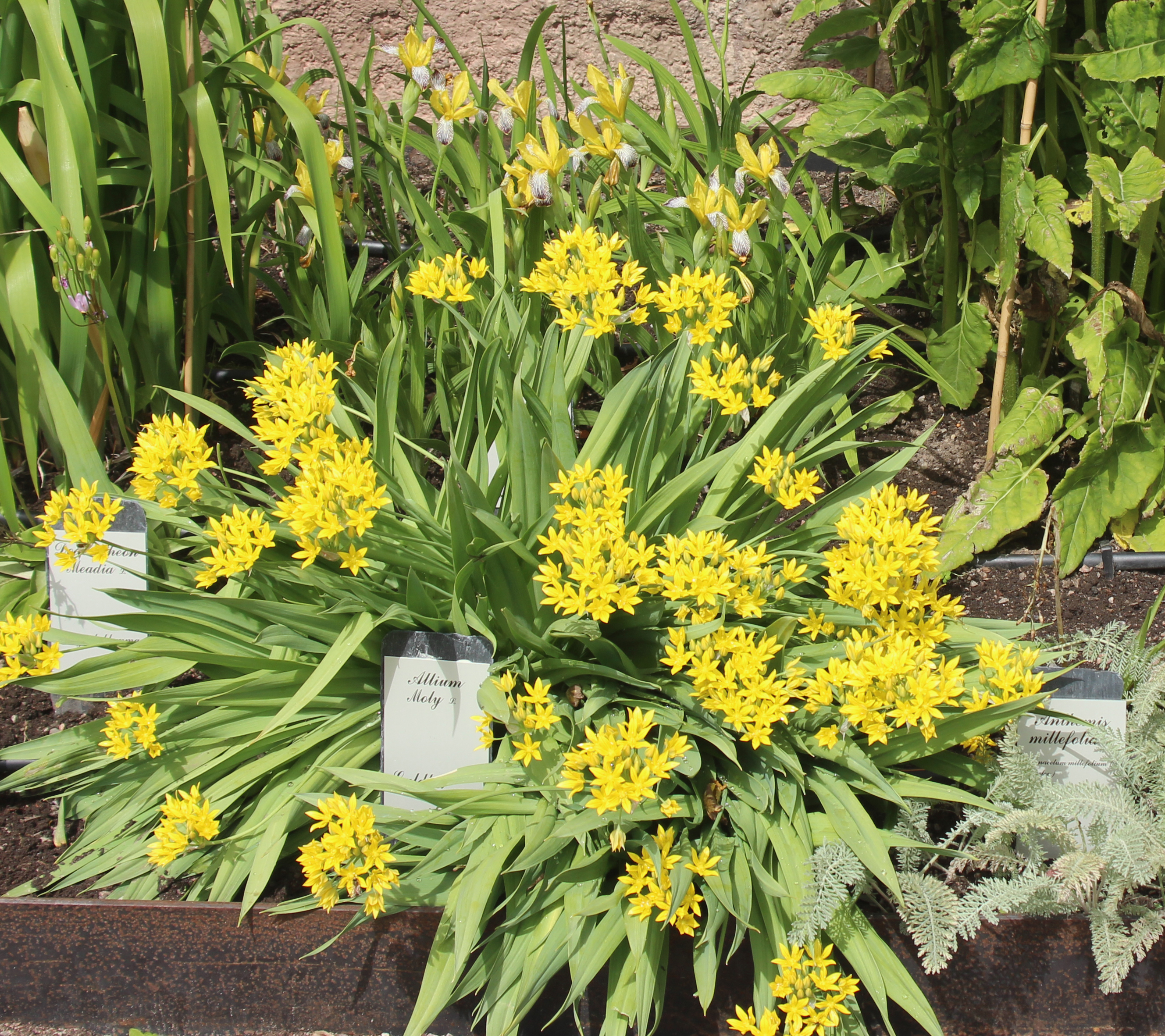 A plant of Golden Garlic, Allium moly, full of yellow bloom, in a flowerbed in front of a stone wall. Around it are other plants, among them a yellow iris. A few slate signs, with the scientific names following Linnaeus' system, are stuck in the soil. Foto Jesper Kårehed, Uppsala University.