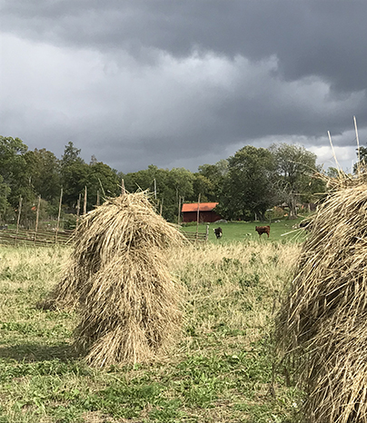 Hay drying on traditional hayracks in the meadows of the cultural reserve at Linnaeus' Hammarby.