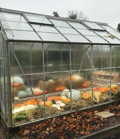This year's harvest of pumpkins are on straw beds in the glasshouse in the kitchen garden of the Botanical Garden.