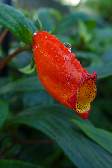 Gesneriaceae-weekend in the Tropical Greenhouse